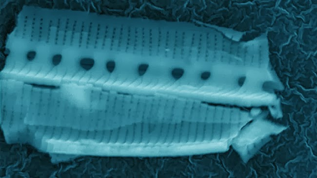 Diatom collected in Earth's lower stratosphere