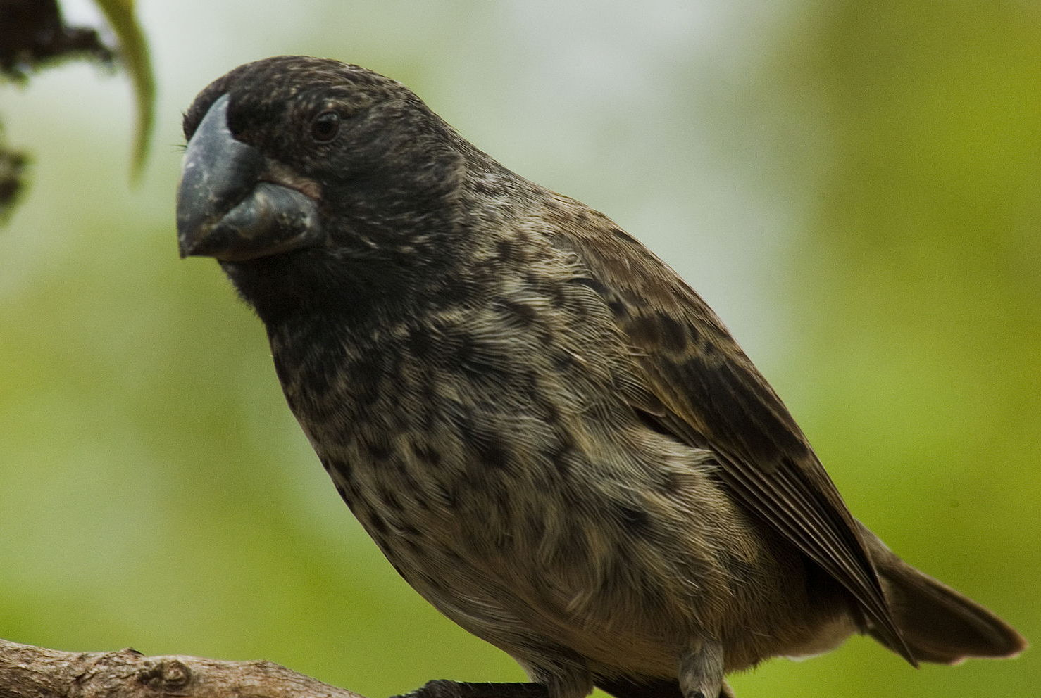Photo of a finch bird