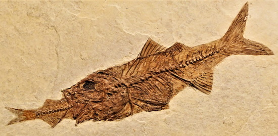 Fish-eating-fish fossil