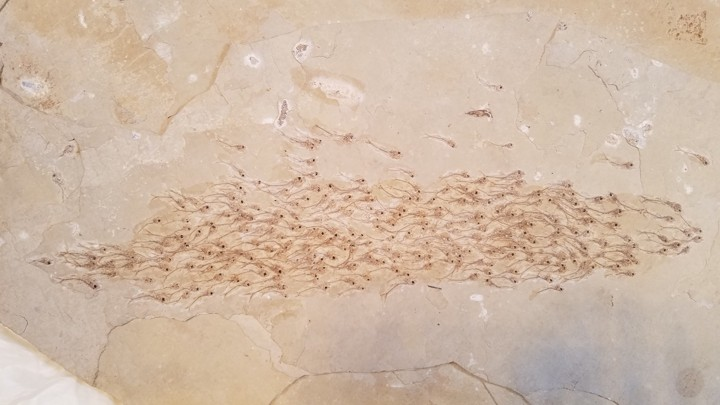 Fish school polystrate fossil in allegedly 50-million year old limestone/shale