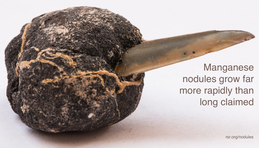 Large manganese nodule grown on obviously-young shark tooth