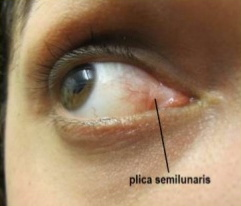 Plica semilunaris is functional and not vestigial