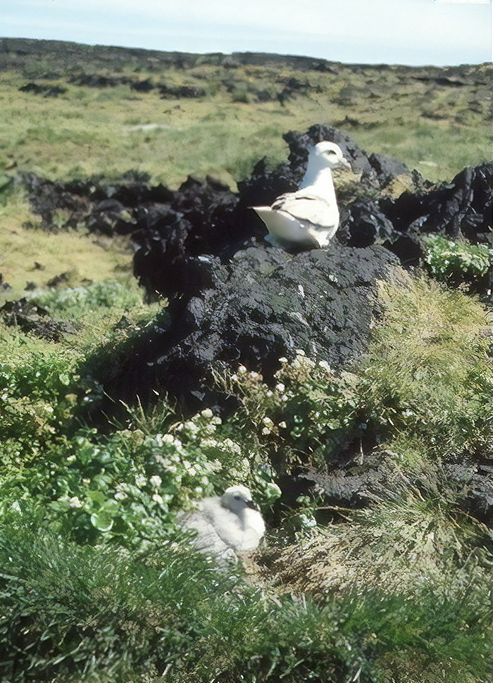 First documented species to live on Surtsey Island